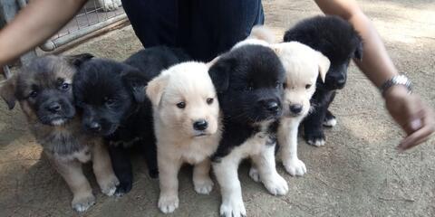 puppies silangan american akita x labrador