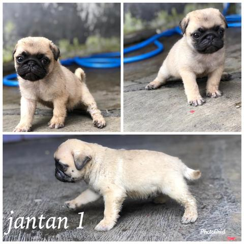 puppies pug high quality
