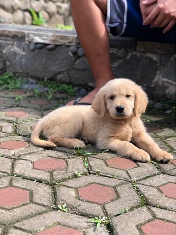 puppies golden betina bigbone
