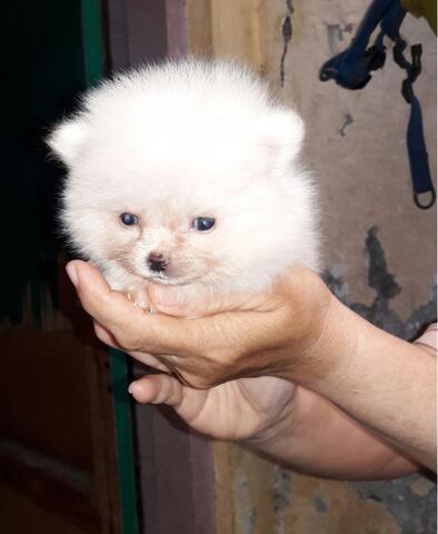 puppies superminipom