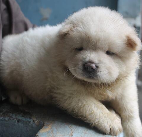 puppies chow chow betina cream