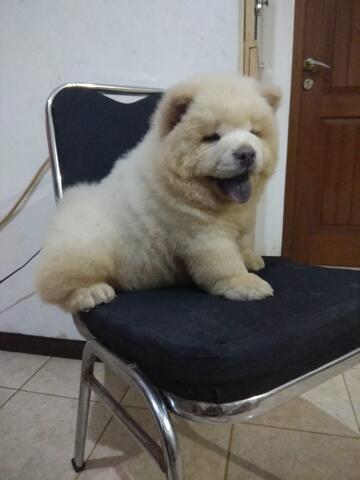 puppies chow chow jantan bigbone