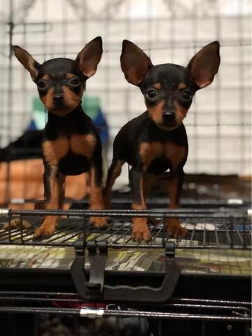 puppies mini pinscher