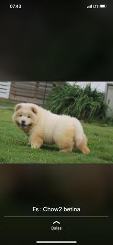 puppies chow chow betina bigbone bigsize
