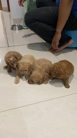 puppies toy poodle