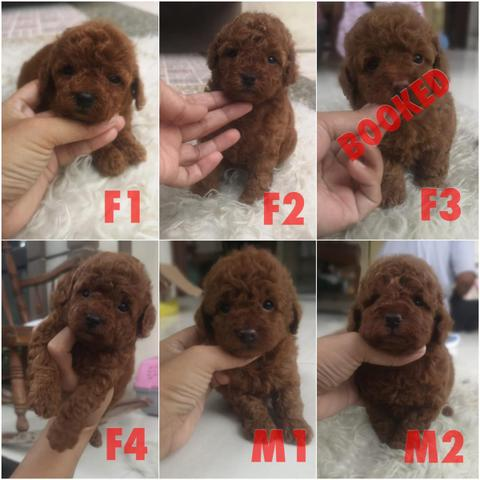 puppies red toy poodle istimewa