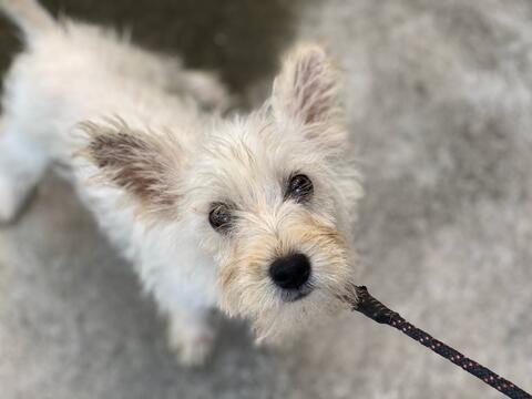 puppies westie west highland white terrier jantan