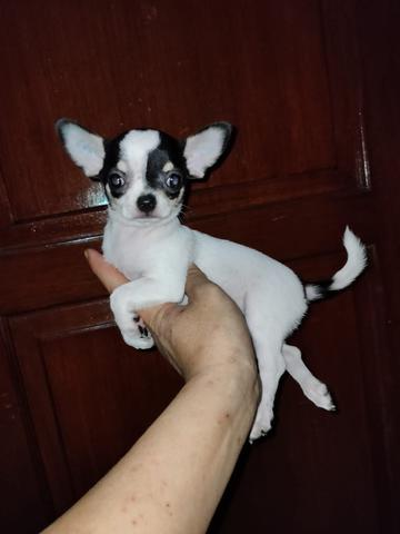 puppies chihuahua betina mini