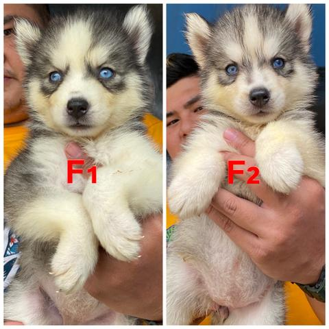 open booking puppies siberian husky stb
