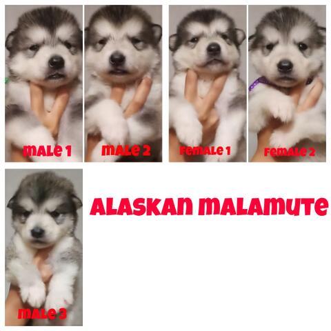 open book puppies alaskan malamute abu