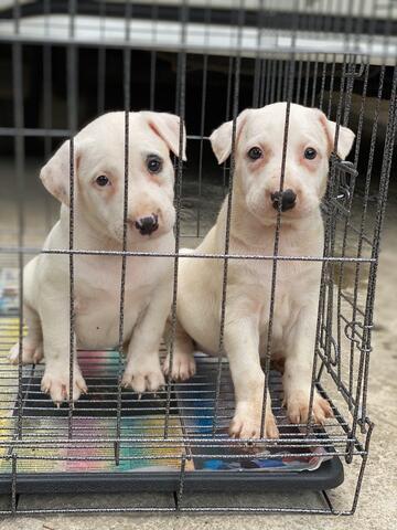 puppies dogo argentino non stb (betina)