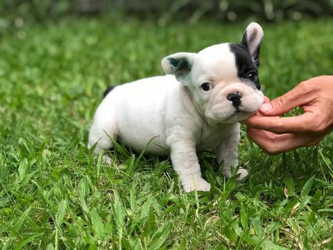 puppies french bulldog male HQ