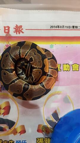 Ball Python Normal Baby