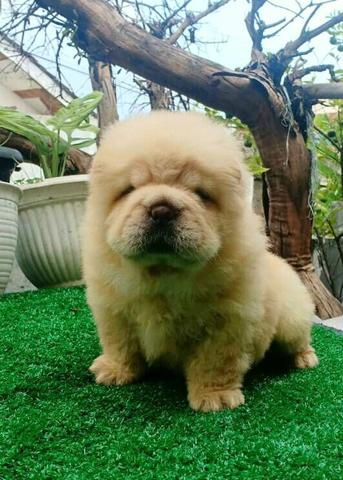 puppies chow chow betina high quality