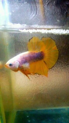 Ikan Cupang Giant Yellow