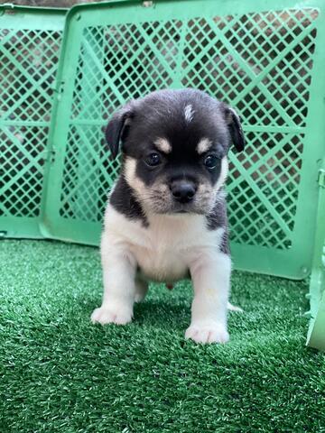 puppy mix chihuahua pug