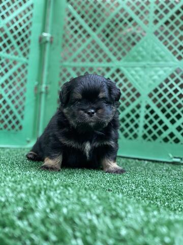 puppy mix chihuahua x pug (male)