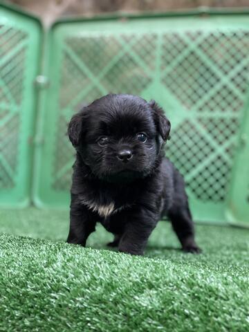 puppy mix pug chihuahua jantan