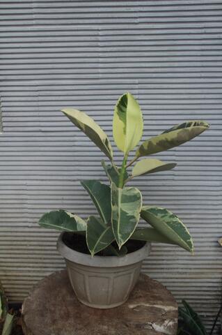 KARET KEBO VARIGATA - Ficus elastica - tanaman indoor