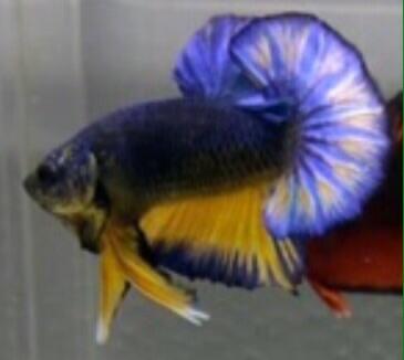 Ikan Cupang Giant Yellow Fancy