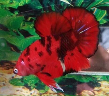 Ikan Cupang Giant Red Fancy