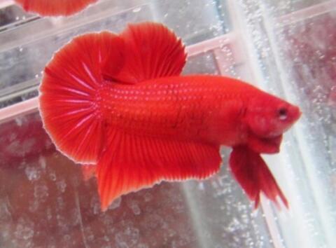 Ikan Cupang Giant Red Super