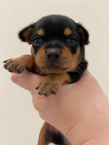 open book puppies chihuahua stb
