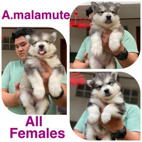 open booking puppies alaskan malamute betina