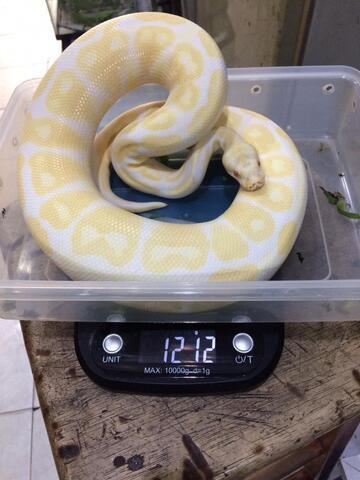 Albino BP (male)