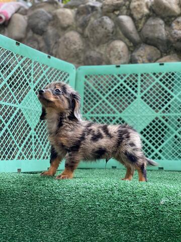 puppies teckel mix pomeranian longhair (jantan)