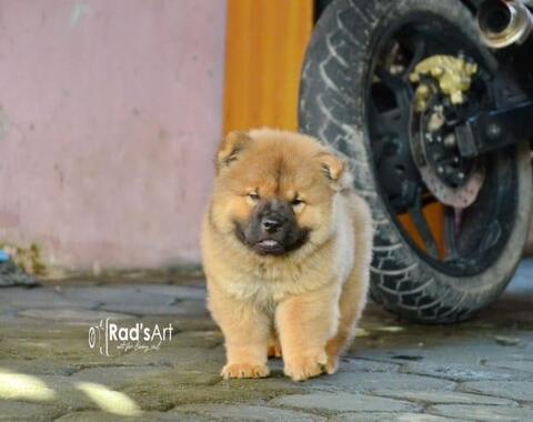 puppy chow2 jantan 3 bulan