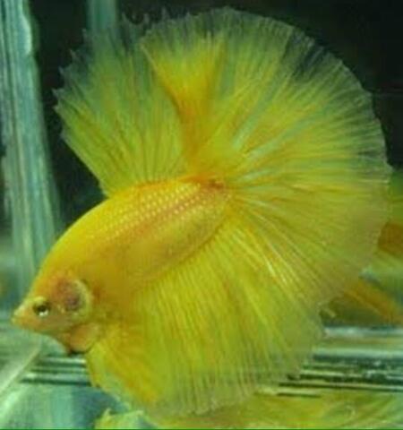 Ikan Cupang Halfmoon Solid Yellow
