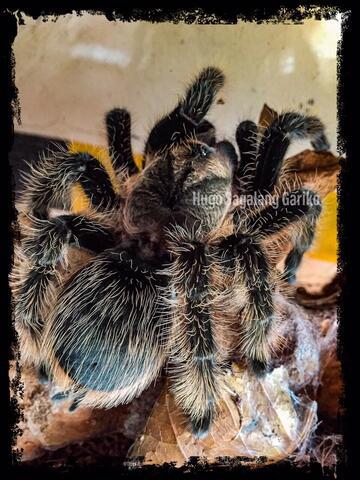 Tliltocatl Albopilosus Tarantula Female
