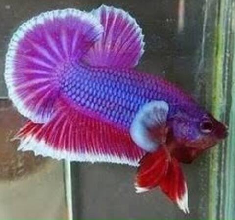 Ikan Cupang Giant Lavender
