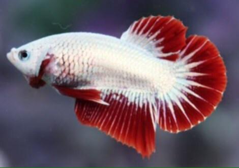 Ikan Cupang Giant Red White