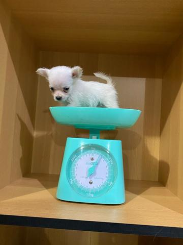 puppies mix chihuahua longhair pom