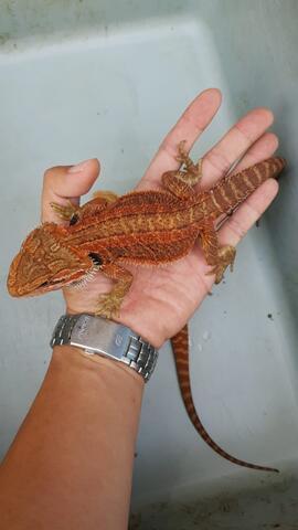 Translucent super red bearded dragon