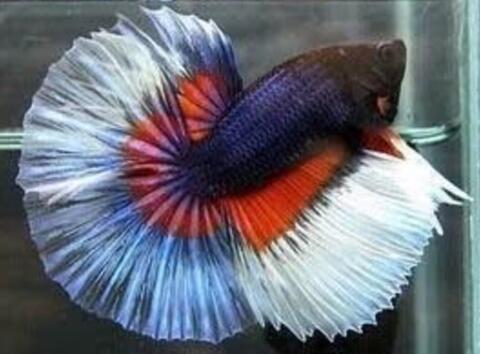 Ikan Cupang Halfmoon Fancy