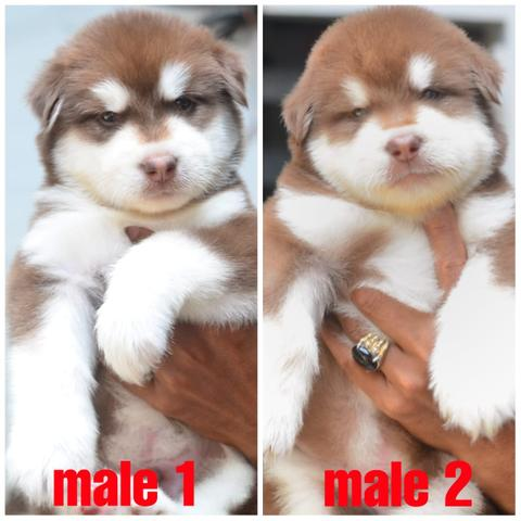open book puppies red alaskan malamute