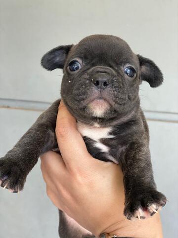 puppies french bulldog good quality
