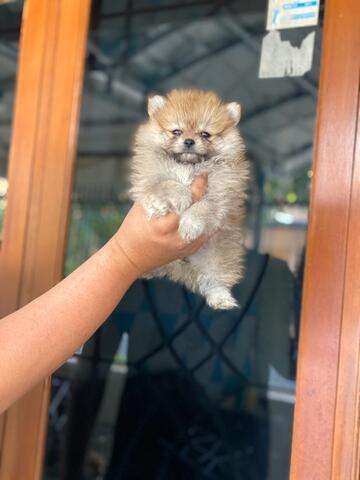 puppies minipom betina teddybear face