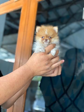 puppies minipom betina partycolour supermini