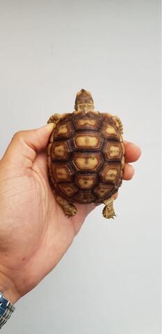 Sulcata tortoise (C)