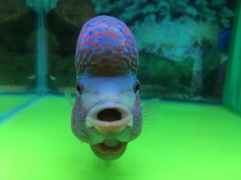 Ikan Louhan Kamfa F3 Mongkol. Thailand. Rawatan Pribadi.