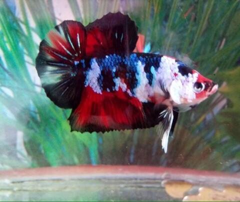 Ikan Cupang Giant Fancy