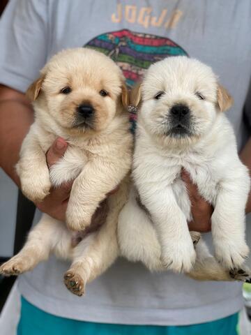 puppies mix breed chow-chow x golden retriever