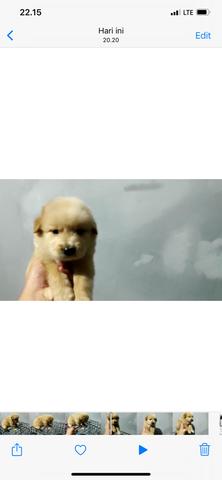 puppy golden retriever jantan non stb