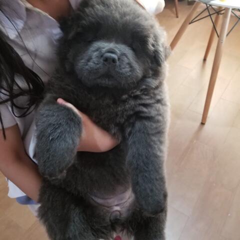 puppies chow-chow betina hitam