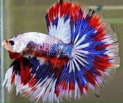 Ikan Cupang Halfmoon White Fancy