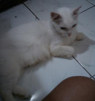 Kucing Persia Indukan Proven White Solid